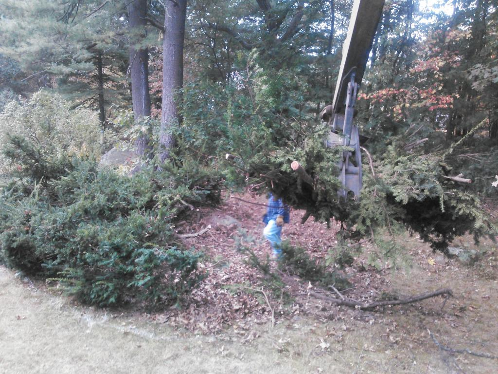 overgrown shrub removed by Phil's Excavating