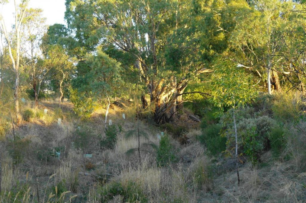 Willunga creekline after removal of ferral vegatation and replanting