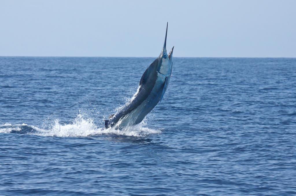 Costa Rica Fishing, Blu Marlin